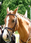 pic of sportive  - portrait of beautiful sportive horse outdoor sunny morning - JPG