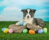 image of puppy eyes  - Pretty blue eyed puppy laying on rocks outdoors with Easter eggs all around him - JPG