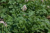 stock photo of solanum tuberosum  - Potato plant blooming in the garden - JPG