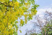 stock photo of vishu  - image of Golden Shower flower - JPG