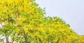 picture of vishu  - image of Golden Shower flower - JPG