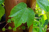 image of ivy  - Picture of the Boston ivy leaves perfectly covering wall - JPG