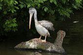 stock photo of catching fish  - Grey pelican  - JPG