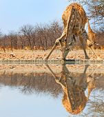 picture of bend  - A lone giraffe bending over drinking from a waterhole with good reflection - JPG