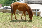 image of pony  - brown pony is eating grass in the farm - JPG