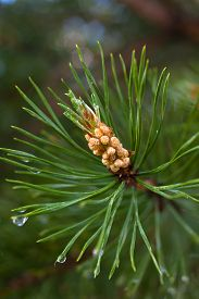 image of pinus  - the strobile on the pine  - JPG