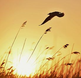 stock photo of headings  - Silhouette of in Flight at sunset - JPG