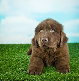 foto of newfoundland puppy  - Sweet Newfoundland puppy laying in the grass outdoors looking up with copy space - JPG