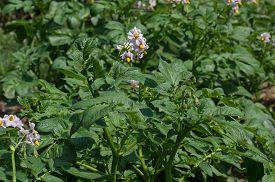 picture of solanum tuberosum  - Potato plant blooming in the garden - JPG