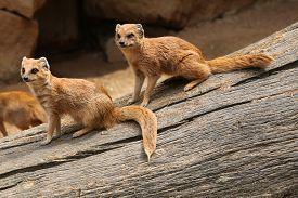 foto of meerkats  - Yellow mongoose  - JPG