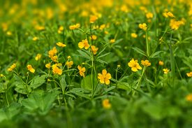 image of buttercup  - Spring floral natural background with yellow flowers buttercups growing in the meadow on a sunny day  - JPG