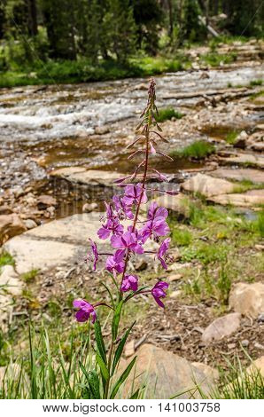 Fireweed (Chamerion angustifolium) wildflowers growing along a river n Utah