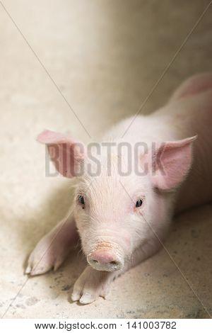 Pig in pig sty on organic farm