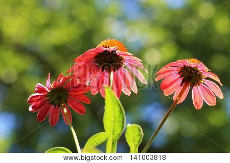 A close up of wet maroon Echinacea flowers