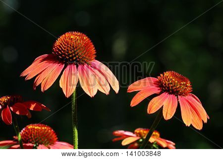 A close up of wet maroon Echinacea flowers with copy space selective focus.