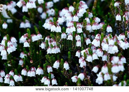 White Alpine Heather in meadows. Enchantment Lakes near Leavenworth and Seattle WA.