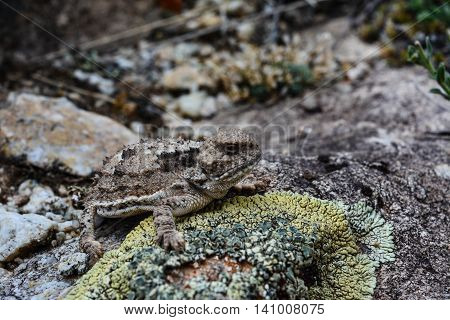 A lizard perched on a moss covered rock.
