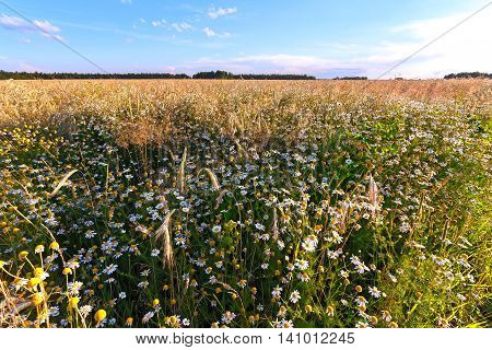 Chamomile and wheat growing in field at sunset.