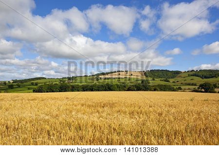 Scenery With Barley Crop