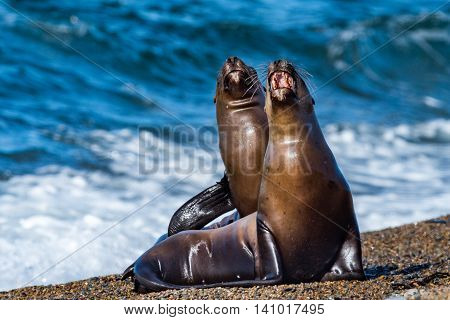 Sea Lion On The Beach In Patagonia While Roaring