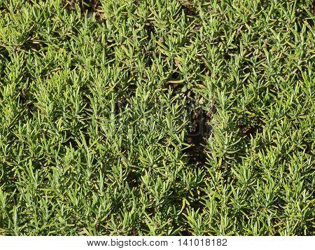 Rosemary (rosmarinus) Plant