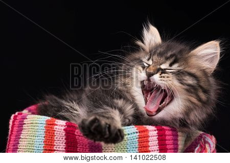 Yawning siberian kitten in a warm knitted scarf over black background