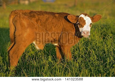 Cow Calf Angus Hereford cross staninding in meadow portrait close up