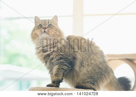 Cute persian cat standing on cat treevintage filter