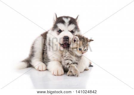 Cute siberian husky puppy cuddling cute kitten on white background isolated