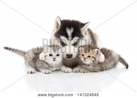 Cute siberian husky puppy cuddling two kittens on white background isolated