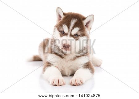 Cute siberian husky puppy lying and looking on white background isolated