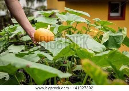 Hokkaido Pumpkin Is Harvested