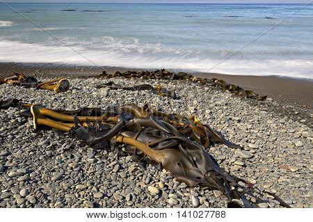Kelp stranded on the Kaikoura Coast South Island New Zealand