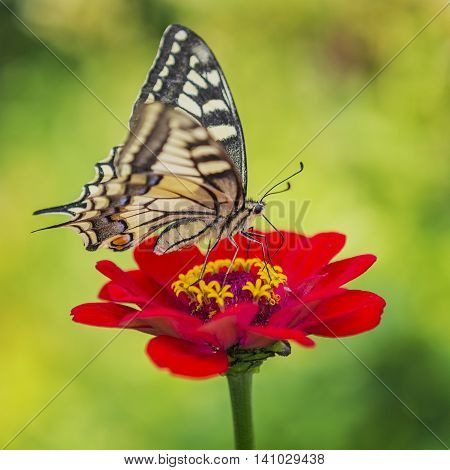 Swallowtail Butterfly (papilio Machaon) A Rare Butterfly From The Papilionidae Family
