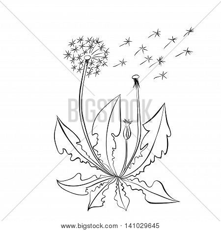 Dandelion flowers. Dandelion summer flowers vector illustration isolated on white background.