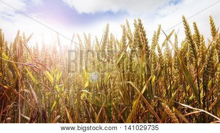 Golden cornfield on a summer day with sun rays
