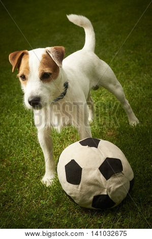 Jack Russell Parson Terrier dog playing with his ball
