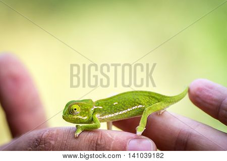 Baby chameleon in green on human fingers