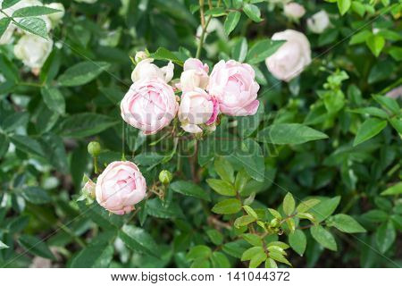 Beautiful rose bush in the afternoon, breed