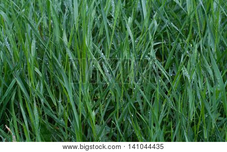 Green grass with blue reflection of sky and water drops on it in rainy day. Grass background. Green grass texture.