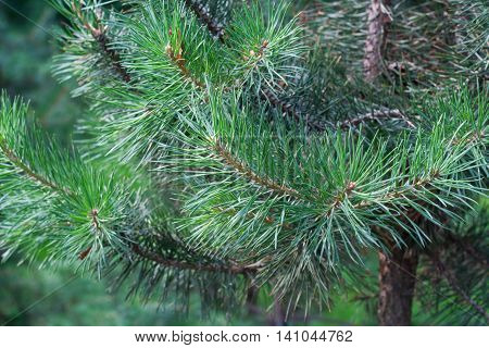 Twigs of pine tree, closeup of branches with needles. Green needles background.