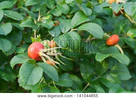 Briar leaves and cankerberries on bush. Green bush in summer garden