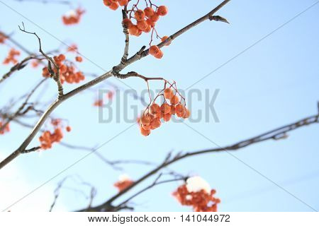 Red berries of rowan tree on clear blue sky background, winter.