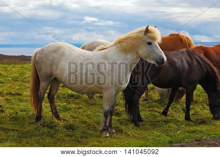 Herd of Icelandic horses magnificent. Well-groomed horses graze and play with each other in a meadow near the farm