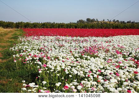 Magnificent buttercups for export. Large field of flowers on the farm for the breeding of buttercups-ranunculus