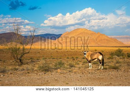 Antelope-oryx standing in the savannah. Orange dunes and dried trees. The concept of exotic tourism in Namib-Naukluft National Park, Namibia