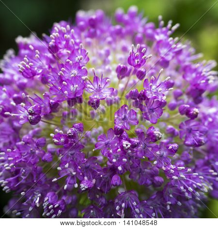 Close up image of the flower of Giant onion