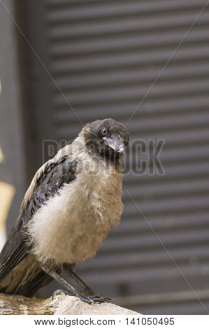 Hoodie frequent bird in a city close up