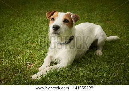 Jack Russell Parson Terrier dog lying on grass lawn