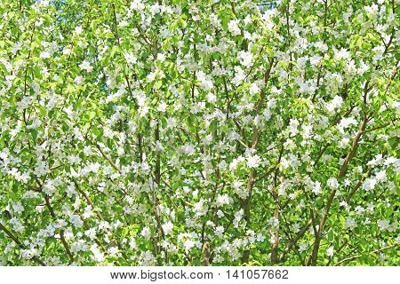 Wild pear-wood blossom tree in the spring
